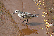 Sanderling photos