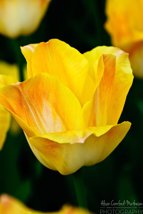 Triumph Tulip 'Salmon Dynasty' Keukenhof Spring Tulip Gardens, Lisse, The Netherlands.