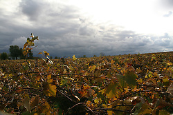 Vineyard in autumn with approaching snow storm in background