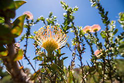 January 4, 2018 - Cape Town, Western Cape, South Africa - Pincushion protea bush at the Kirstenbosch Botanical Gardens in Cape Town, South Africa (Credit Image: © Edwin Remsberg / Vwpics/VW Pics via ZUMA Wire)