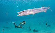 Guam, Piti Preserve Barracuda and Fish 2015