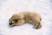 Image of a sleeping polar bear (Ursus maritimus) in a snow field near Churchill in Manitoba, Canada