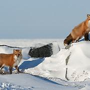 Red Fox (Vulpes vulpes) pair near Churchill, Manitoba, Canada.
