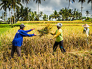 20 JULY 2016 - TAMPAKSIRING, GIANYAR, BALI: Women work during the rice harvest in Bali. The woman on the left was cutting rice, the woman on the right was thrashing it. Rice is an important part of the Balinese culture. The rituals of the cycle of planting, maintaining, irrigating, and harvesting rice enrich the cultural life of Bali beyond a single staple can ever hope to do. Despite the importance of rice, Bali does not produce enough rice for its own needs and imports rice from nearby countries. Because of its dependable growing weather and number of micro-climates, rice cultivation is a year round activity in Bali. Some farmers can be harvesting rice, while farmers just a few kilometers away can be planting rice. Most rice in Bali is still harvested by hand.      PHOTO BY JACK KURTZ