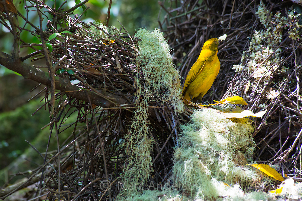 Male Golden Bowerbird (Prionodura newtoniana) at his elaborately constructed display court