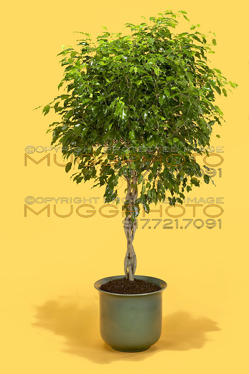 indoor fig tree in a blue clay pot