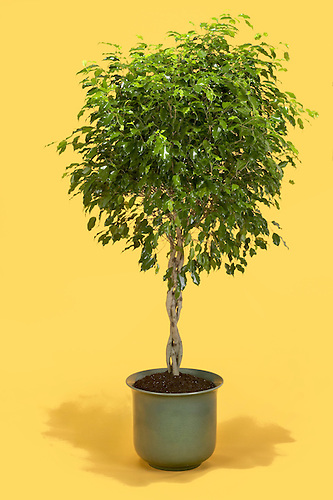 Best Fig Tree Indoor Pictures - Kolakowski-art.info - kolakowski ...