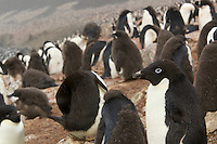 Adelie Penguin (Pygoscelis adeliae) breeding colony on Devil Island with moulting chicks.
