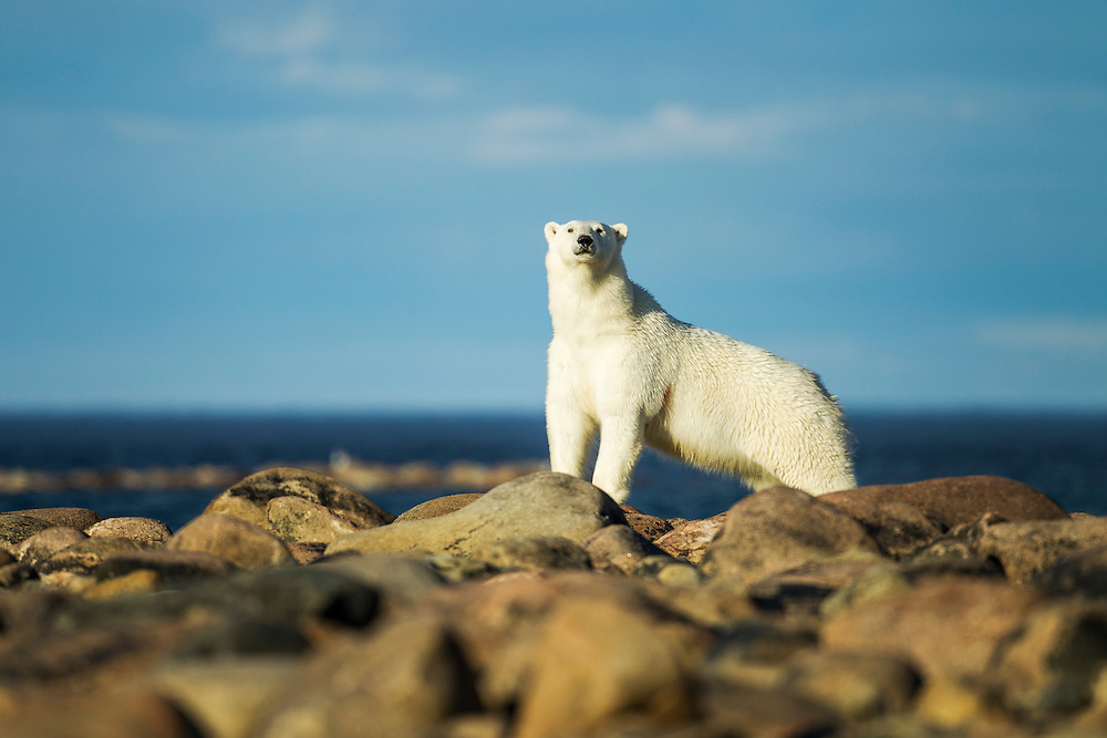 Canada, Manitoba, Polar Bear (Ursus maritimus) standing on rocky shoreline at Hubbart Point along Hudson Bay on summer evening