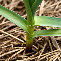 Garlic plant growing in straw mulch in an organic vegetable garden.