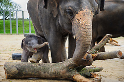 © Licensed to London News Pictures. 07/11/2013 Whipsnade, UK. Three week old Asian elephant, Max makes his first public appearance at Whipsnade Zoo, Beds. Born on October 12th, he shares his paddock with mum Karishima and nine other elephants including siblings George, Donna and Scott.<br /> Photo credit : Simon Jacobs/LNP