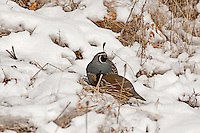 A male and female California quail feed on seeds in the snow.