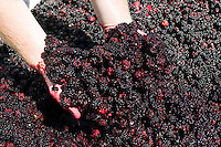 Wild Blackberries harvested by the Cowichan First Nations people are proudly displayed before being processed into a blackberry dessert wine at Cherry Point Vineyards.  Cobble Hill, Cowichan Valley, Vancouver Island, British Columbia, Canada.