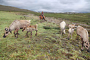 Stunning images reindeer herders of Mongolia<br /> <br /> Tsaatan people are reindeer herders and live in northern Khövsgöl Aimag of Mongolia. Originally from across the border in what is now Tuva Republic of Russia,the Tsaatan are one of the last groups of nomadic reindeer herders in the world. They survived for thousands of years inhabiting the remotest Ulaan taïga, moving between 5 and 10 times a year. <br /> The reindeer and the Tsaatan people are dependent on one another. Some Tsaatan say that if the reindeer disappear, so too will their culture. The Tsaatan depend on the reindeer for almost, if not all, of their basic needs:  their reindeers provide them with milk, cheese, meat, and transportation. They sew their clothes with reindeer hair, reindeer dung fuels their stoves and antlers are used to make tools. They do not use their animals for meat. This makes their group unique among reindeer-herding communities. As the reindeer populations shrink, only about 40 families continue the tradition today. Their existence is threatened by the dwindling number of their domesticated reindeer. Many have swapped their nomadic life for urban areas. <br /> <br /> Tsaatan people raise their reindeer primarily for milk. Reindeer milk, reindeer yoghurt and reindeer cheese are the staples of the Tsaatan diet. Only a few reindeer are slaughtered during the year for meat and pelts. The reindeer also provide transportation. Because the taiga area is typically hilly and covered with forest, reindeer are not used for pulling sledges, but for riding and as pack animals. They take the Tsaatan for daily grazing, hunting, the collection of firewood, seasonal migrations, visiting relatives and friends, and traveling to the sum for shopping and trade. They get flour and rice from the faraway villages, going there riding reindeer or horse.<br /> ©Pascal MANNAERTS/Exclusivepix Media