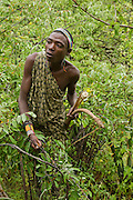 Hadzabe hunter collect wild fruit from a bush. The Hadza, or Hadzabe, are an ethnic group in north-central tanzania, living around Lake Eyasi in the Central Rift Valley and in the neighboring Serengeti Plateau.