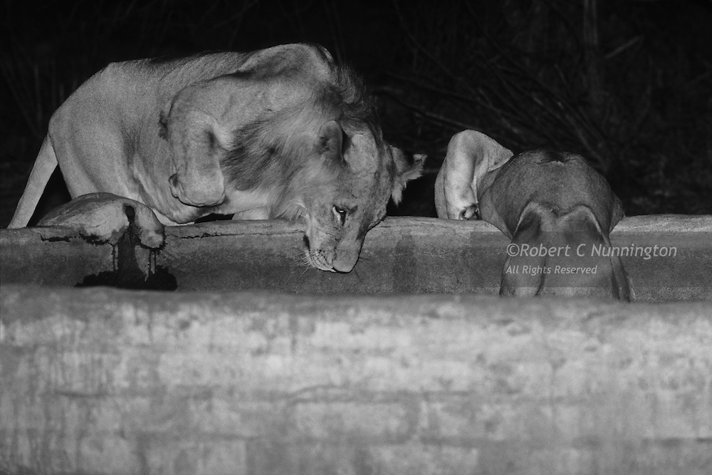 Lions making use of a a water tank at a private lodge in the Sabie Sands Game Reserve, Mpumalanga, South Africa