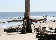 Driftwood Beach petrified tree and roots