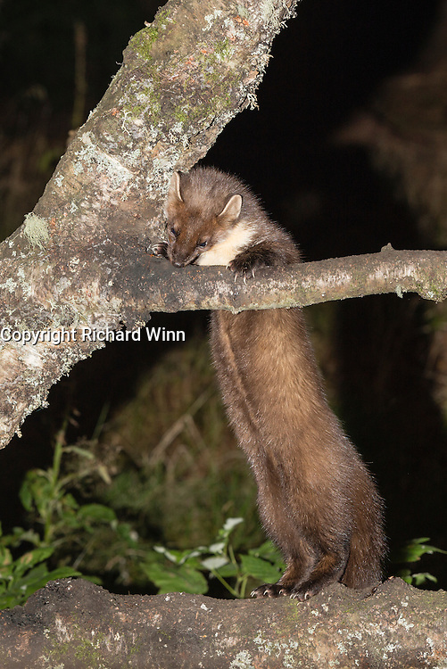 Pine marten at a feeding station on the Aigas Field Centre, near Beauly, in the Scottish Highlands, as it reaches up to a branch at a higher level.