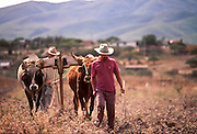 01 DECEMBER 1991, OAXACA, MEXICO: Farmers use oxen to plow their fields near Oaxaca, Mexico, Dec. 1, 1991. .PHOTO BY JACK KURTZ