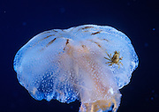 An atlantic sea nettle (Chrysaora quinquecirrha) jellyfish with a parasitic crab on its bell. Photographed in captivity near the Oregon Coast.