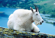 "A mountain goat rests at Hidden Lake in Glacier National Park, Montana, USA. The mountain goat (Oreamnos americanus, or Rocky Mountain Goat) is a large-hoofed mammal found only in North America. It is an even-toed ungulate in the family Bovidae, in subfamily Caprinae (goat-antelopes), in the Oreamnos genus, but is NOT a true ""goat"" (or Capra genus). Since 1932, Canada and USA have shared Waterton-Glacier International Peace Park, which UNESCO declared a World Heritage Site (1995) containing two Biosphere Reserves (1976)."
