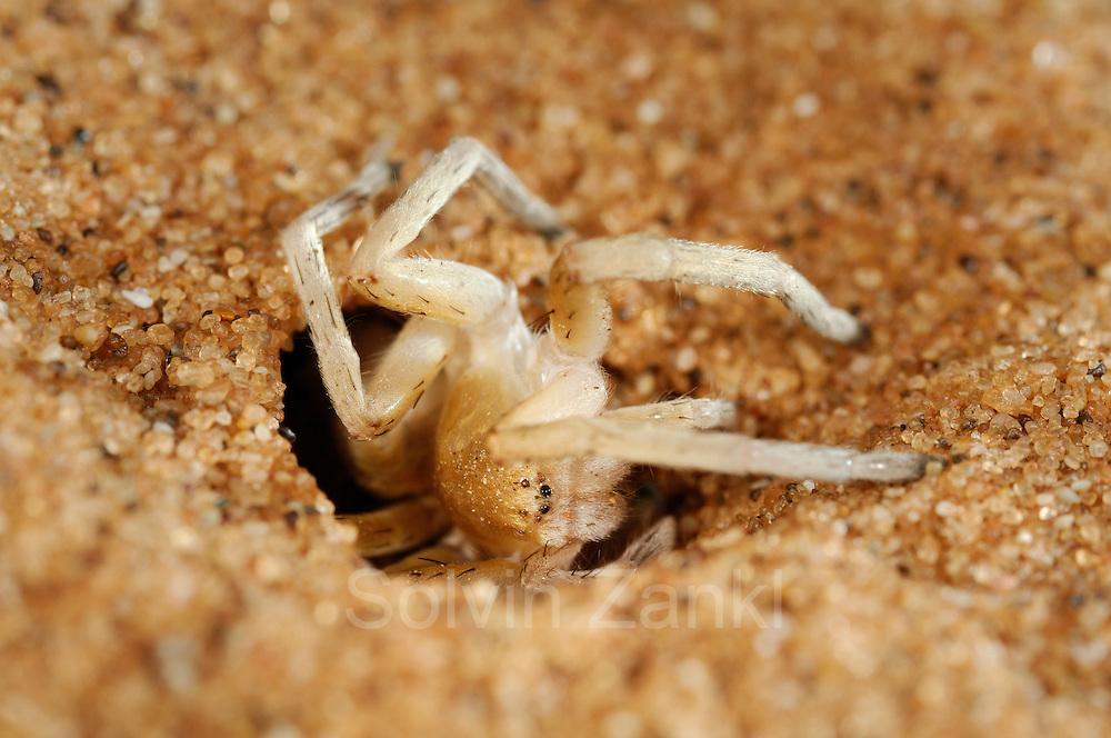 Wheel Spider (Carparachne aureoflava), Namib Desert, Namibia