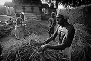 Putting rice stalks out to dry beside a Hindu temple after threshing. The rice harvest season in South India.