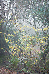 Hamamelis x intermedia 'Pallida' syn. H.mollis 'Pallida' - Witch hazel in the woodland area on a foggy morning at Glebe Cottage