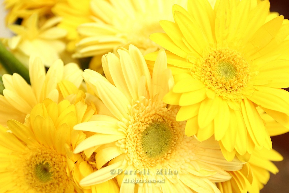 April 30, 2007; Los Angeles, CA - Yellow Gerbera flowers..Photo Credit: Darrell Miho