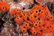 Brown Encrusting Octopus Sponge, Ectyoplasia ferox, Cemetery Reef, Grand Cayman