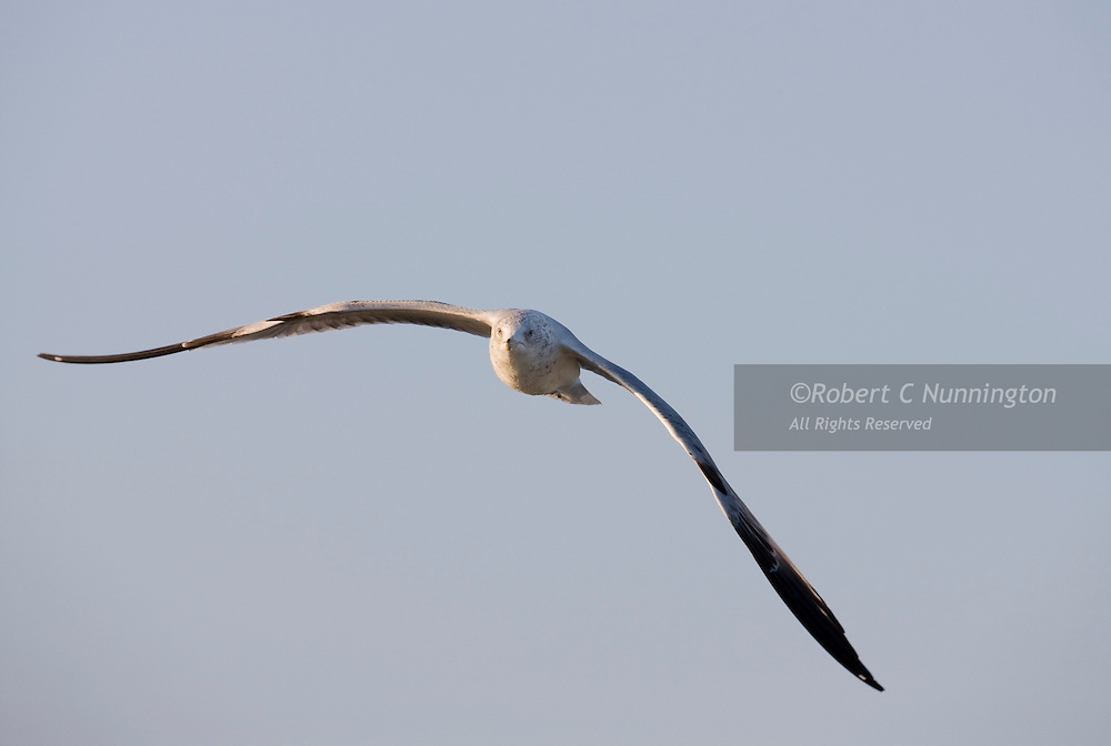 Immature ring billed gull in flight