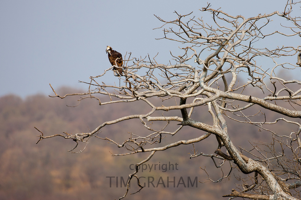 Osprey in Ranthambhore National Park, Rajasthan, Northern India