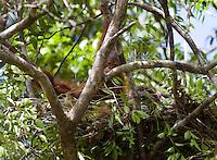 Baby orangutan, Pongo pygmaeus, in a nest, Sarawak, Malaysia