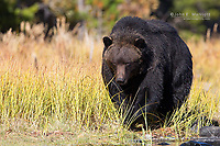 Grizzly bear, Chilcotin, BC, Canada