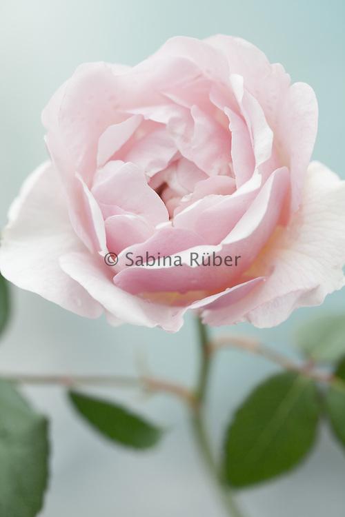 Rosa 'Scepter'd Isle' - English Rose - bred by David Austin - shrub rose