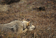 Grey Wolf, Wolf, Denali National Park, Alaska