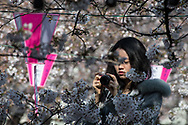 A woman looks at her camera after taking a picture of the cherry blossoms at Nakameguro in Tokyo on April 3rd. The cherry blossom season in Japan kicks off boozy parties across the country and draws tourists from far and wide. 03/04/2017-Tokyo, JAPAN