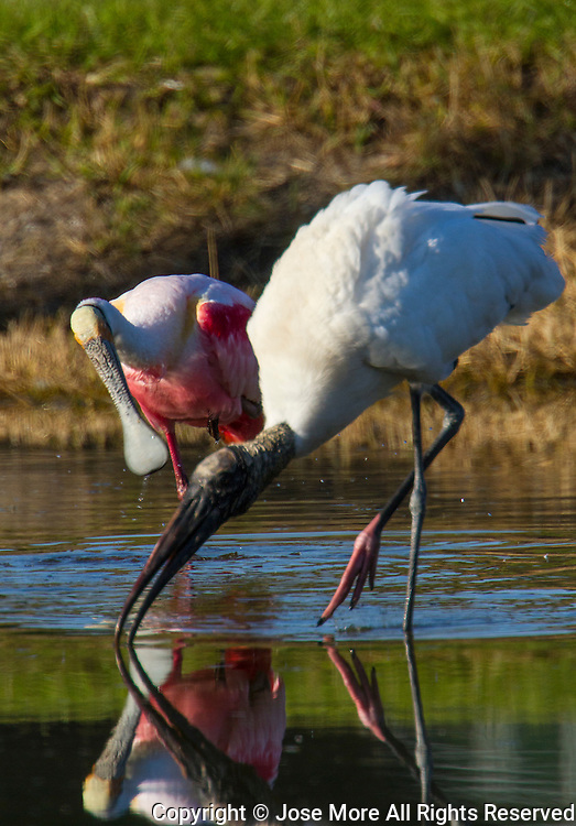 A wood stork, mycteria americana, front and a Roseate Spoonbill, Platalea ajaja, is a large wading bird with pink plumage and a distinctive spatula shaped beak. It stand 85 cm tall and have a 1.3 m wingspan being one of the most striking birds found in North America. The Roseate Spoonbill breeding range extends south from Florida through the Greater Antilles to Argentina and Chile. <br /> Photography by Jose More