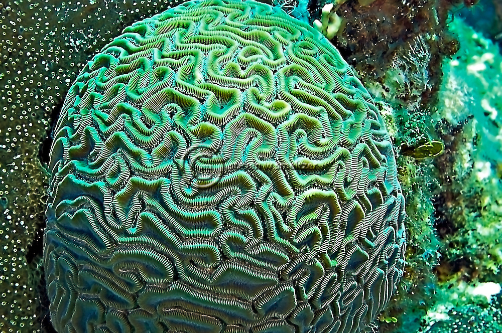 Grooved Brain Coral, Grand Cayman, Caribbean.