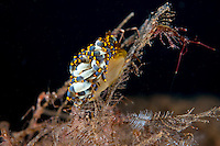 Aeolid Nudibranch feeding on Hydroids..Shot In Indonesia