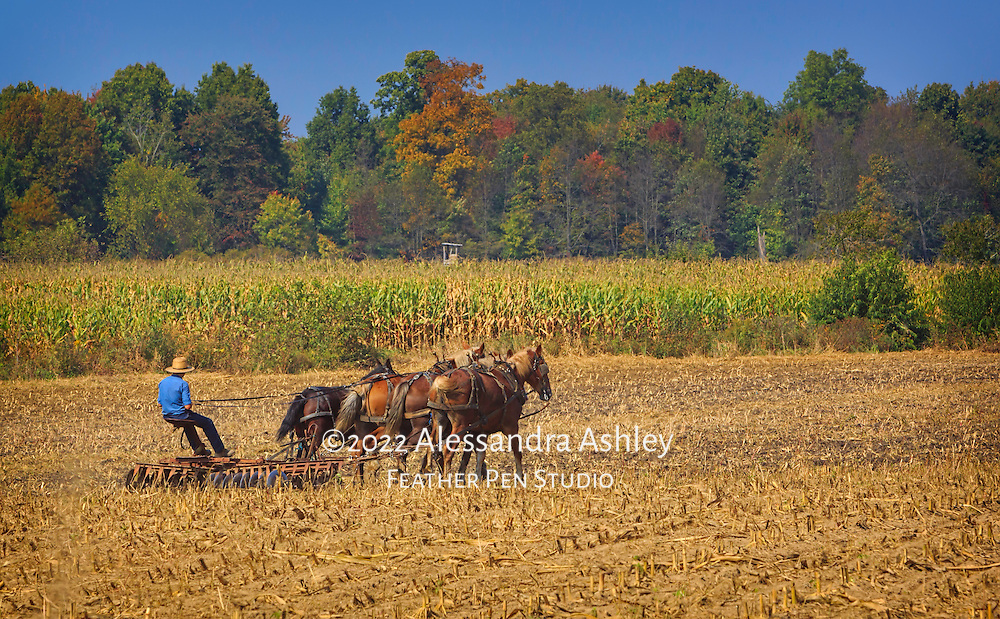Amish youth works cornfield with traditional plow in early autumn.  Holmes County, Ohio.