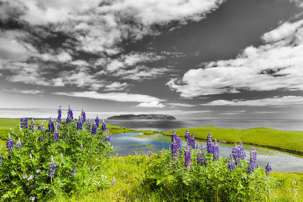 Nootka Lupines (Lupinus nootkatensis) at Pasagshak Point on Kodiak Island overlook Ugak Island in Southwestern Alaska. Summer. Afternoon.