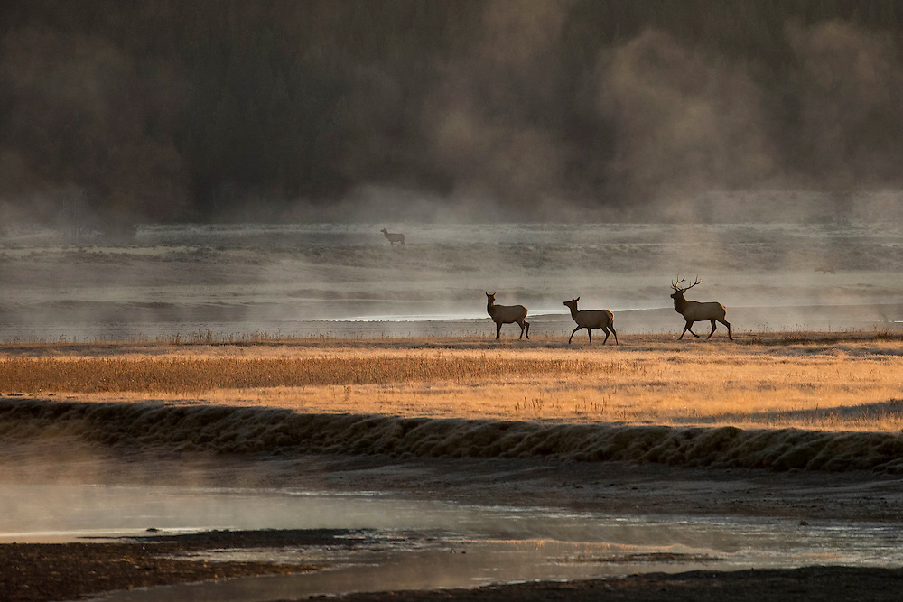 As the sun rises in Yellowstone's Hayden Valley, a bull elk pushes his cows from an open meadow across the river and into the trees where they will stay safe from danger during the daylight hours.