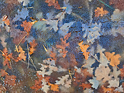 Autumn leaves frozen in pond inthe Seine River Forest<br />