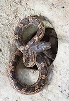 Texas Rat Snake, Elaphe (Pantherophis) Obsoleta<br />