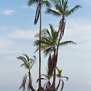 Palm trees on a piece of eroded beach in Corcovado National Park, Costa Rica.