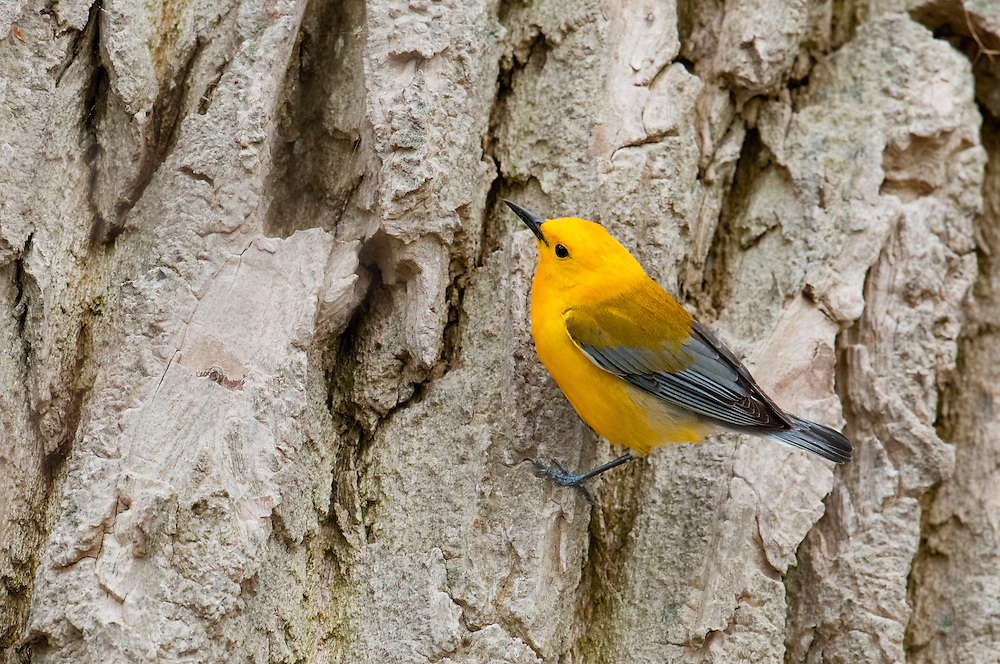 Prothonotary Warbler, Protonotaria citrea, male on Eastern Cottonwood, Populus deltoides, Magee Marsh, Ohio