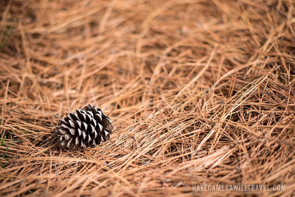 A pine cone sides on a thick bed of pine needles on the ground.