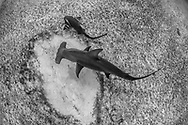 Hammerhead shark with Nurse shark