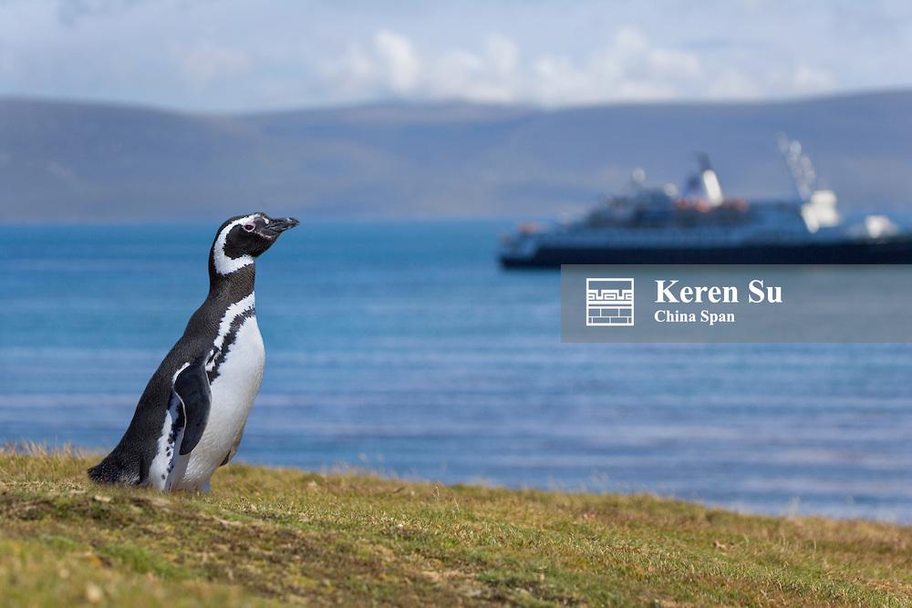 Magellanic Penguin (Spheniscus magellanicus) watch tourist ship on the beach, Falkland Islands